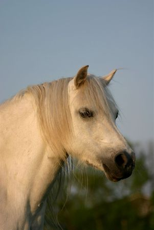 A gray pure white welsh pony looking curiously at the viewer photo