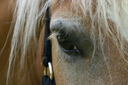 A close-up of the eye of an Austrian haflinger pony, wearing a show halter set with small crystals photo