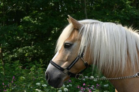 A portrait of an Austrian haflinger pony, wearing a show halter set with small crystals photo