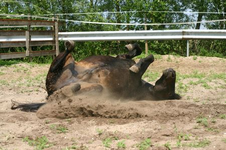 A dark bay New Forest pony, rolling in a paddock Stock fotó