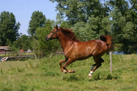 galloping: A portrait of a chestnut arabian horse, galopping in a green field Stock Photo
