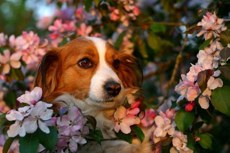 A portrait of a dog surrounded with beautiful pink blossoms Stock Photo