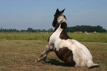 piebald: Un caballo pintado que consigue en sus pies en un campo verde en un d�a asoleado