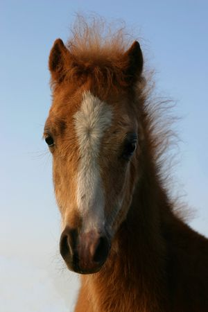 A chestnut welsh foal with a blue sky background photo