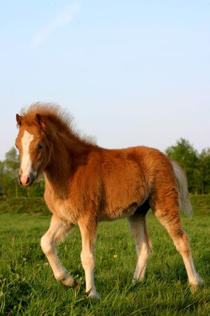 A chestnut welsh foal walking around in its pasture photo