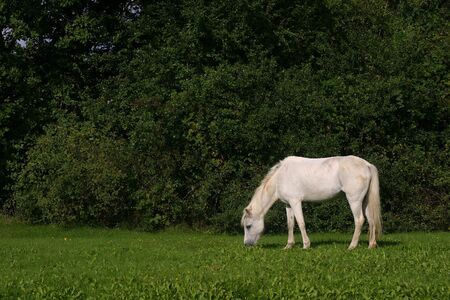 scrawny: A small white pony grazing in a green field