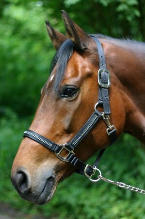 A portrait of a beautiful warmblood mare with a touch of arabian blood, wearing a show halter set with small crystals