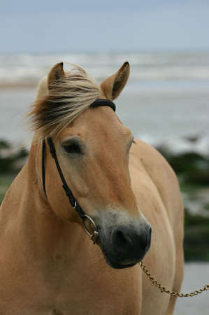 A portrait of a norwegian fjord horse at the sea. photo