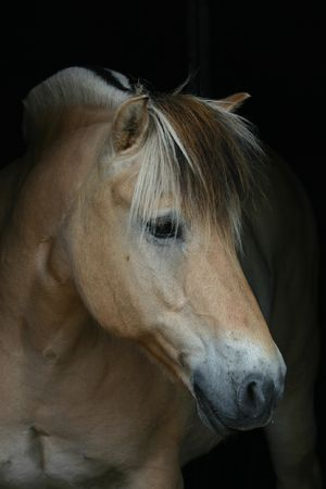 A Norwegian fjord horse on a pitch black background photo