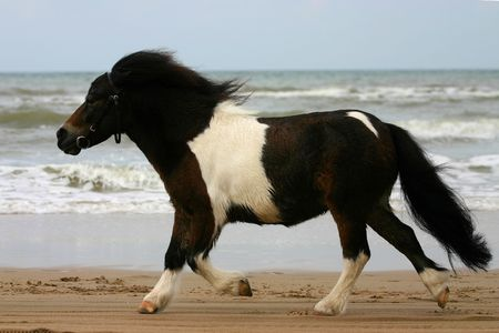 trotting: A small pony trotting on the beach