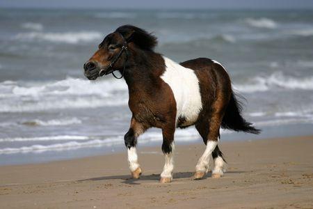 Een kleine pony draf op een zandstrand