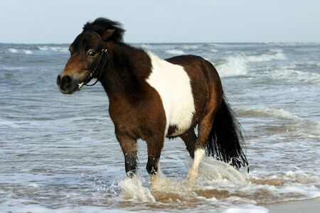 piebald: A piebald pony wading through the sea Stock Photo
