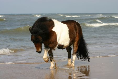 shetland pony: A small bay and white pony playing with the sea