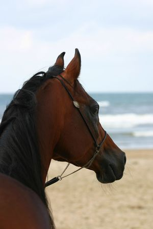 A bay arabian stallion on the beach looking out over the waves