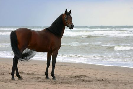 thoroughbred: A beautyful bay arabian stallion standing freely on the beach Stock Photo