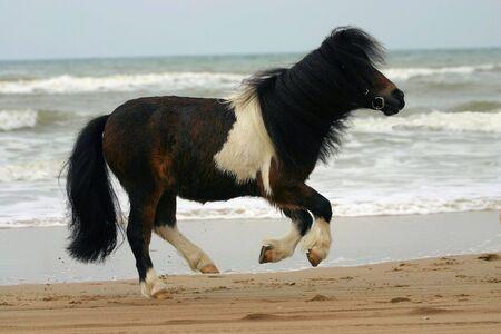 piebald: A small piebald pony on the beach Stock Photo