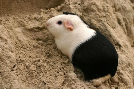 guinee: A guinee pig on a sandy hill