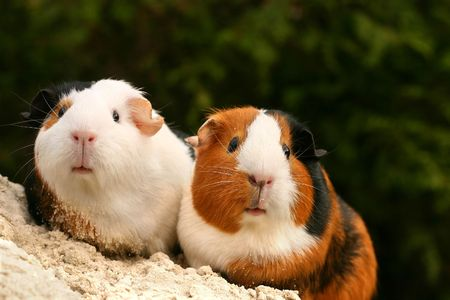 Two guinea pigs looking at the viewer Stock Photo