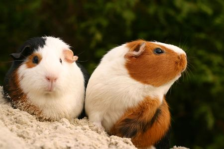 Two curious guinee pigs on a sandy slope