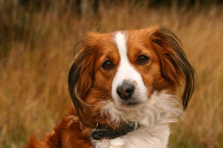 A kooijker dog in a yellow field Stock Photo - 611426