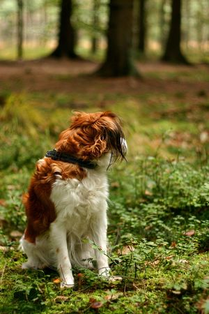 A kooijker dog in a forest, looking away from the viewer Stock Photo - 611428