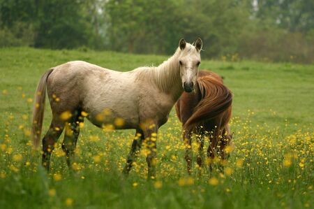 A curious palomino pony looking up to the viewer