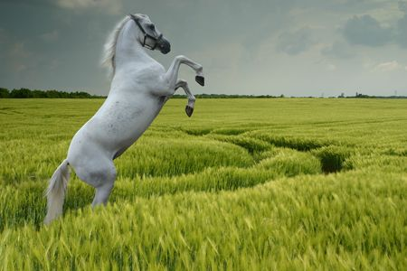 trained: A grey horse rearing in a wheat field