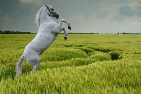 Een grijze paard fokken in een tarwe veld