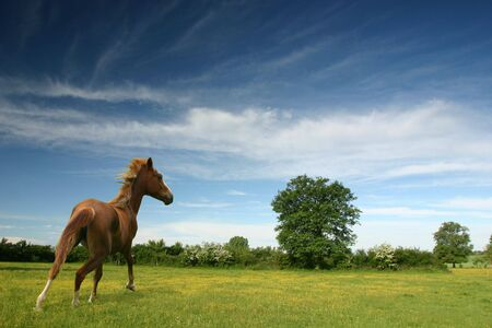 A chestnut pony in a green spring field with bright blue sky