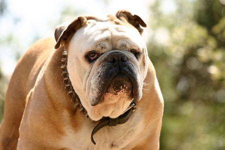 bulldog: Un bulldog dura contra un bello fondo natural.  Foto de archivo