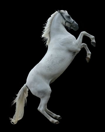 rearing: A white stallion rearing, isolated on black background