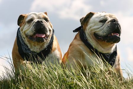 Two bulldogs, male and female, sitting in the high grass against a blue sky
