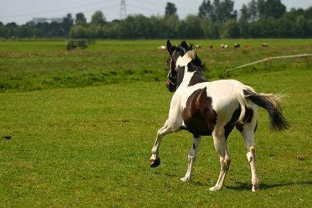 joins: A happy tobiano warmblood horse joins its friend in the field.