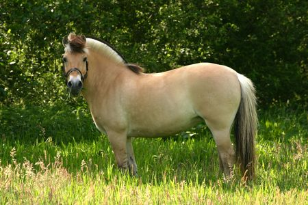A brown dun fjord pony standing in a lush green pasture. Stock Photo