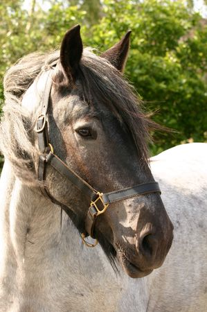 roan: A portrait of a Belgian draught horse.