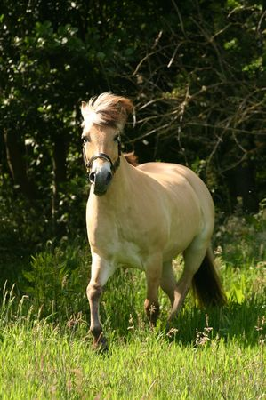 A brown dun pony in a canter in the field. photo