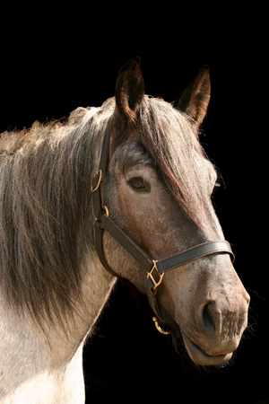belgian horse: A portrait of a grey horse against a black background. Isolated.