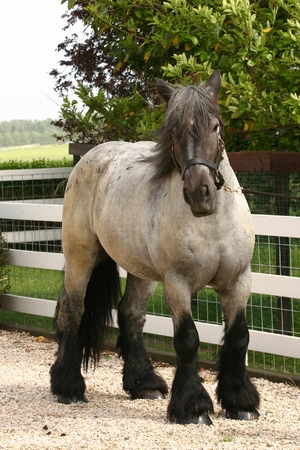 belgian: A full body shot of a Belgian draught horse. Stock Photo