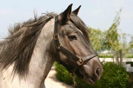draught horse: A portrait of a black roan belgian draught horse. Stock Photo