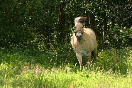 A norwegian fjord horse in a gallop photo