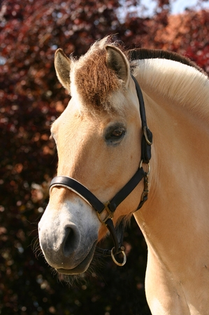 isabel: A beautifu horse portrait against a background of red leaves. Stock Photo