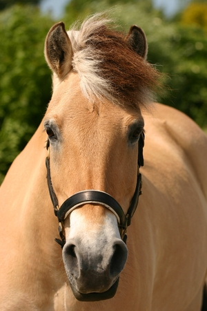 A beautiful portrait of a curious Norwegian fjord horse. photo