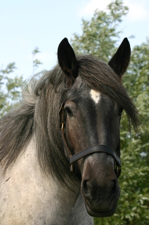 roan: Photograph of a black roan draft horse. Stock Photo