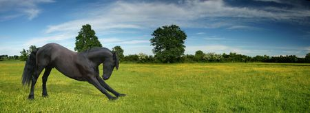friesian: A black horse making a bow in a beautiful green summer field panorama Stock Photo