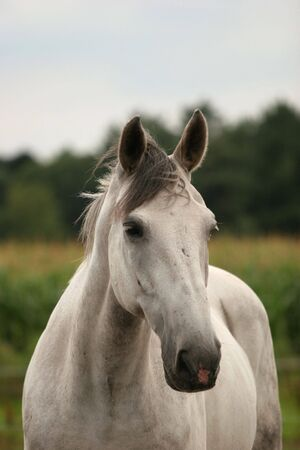 warmblood: A portrait of a grey warmblood horse.