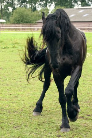friesian: A trained Friesian horse performing a spanish walk