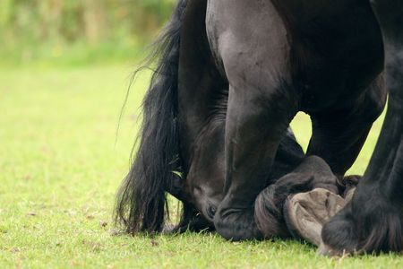 bowing: A black friesian horse in a deep bow