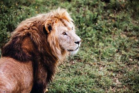 Single male lion portrait. Big lion looking out. Standard-Bild
