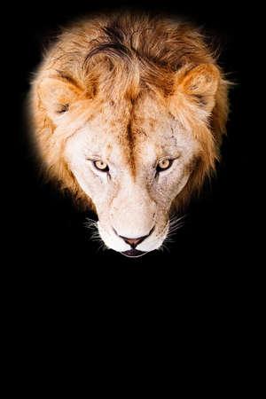Lion portrait on a black background. African male lion looking at camera. Standard-Bild