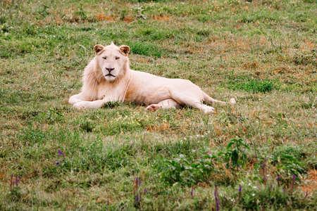 Large white lion, Panthera leo, portrait. Big male lion looking at camera.